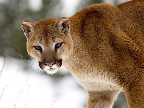 Research to regulation: Cougar social behavior as a guide